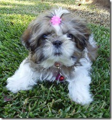 shihtzu_madrigal