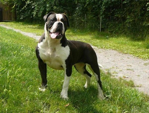 Tipos de Bulldogs: Frances, inglés y americano ...