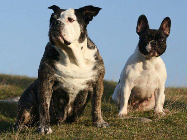 tipos-de-bulldogs-frances-ingls-y-americano