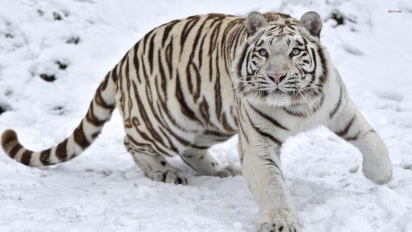 las-mejores-fotos-de-tigres-amur