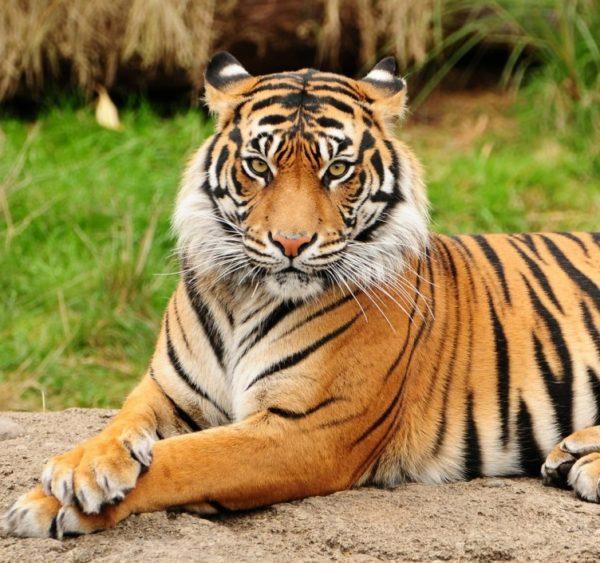 las-mejores-fotos-de-tigres-bengala