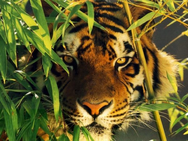 las-mejores-fotos-de-tigres-foto-10