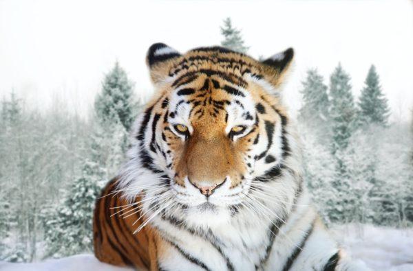 las-mejores-fotos-de-tigres-foto-16