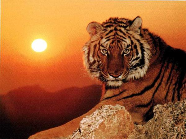 las-mejores-fotos-de-tigres-foto-2