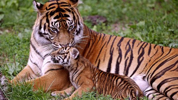 las-mejores-fotos-de-tigres-foto-20