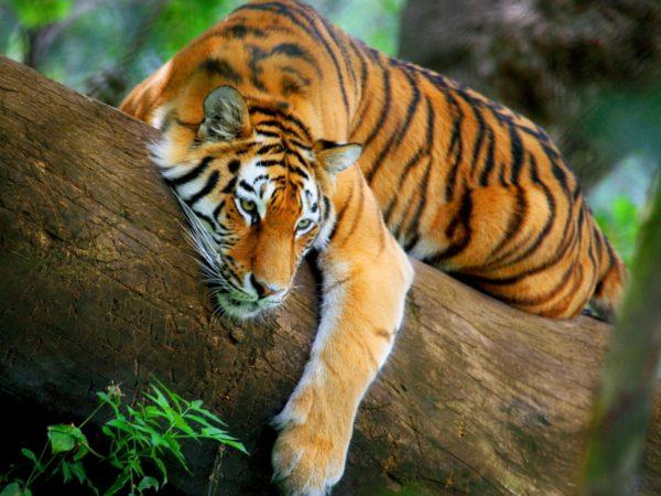 las-mejores-fotos-de-tigres-foto-4