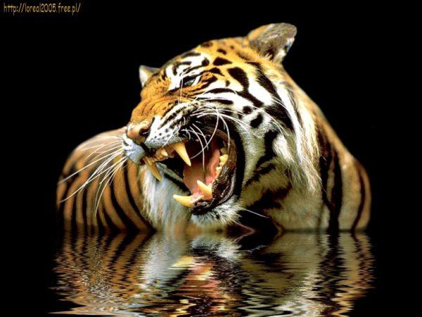 las-mejores-fotos-de-tigres-foto-8