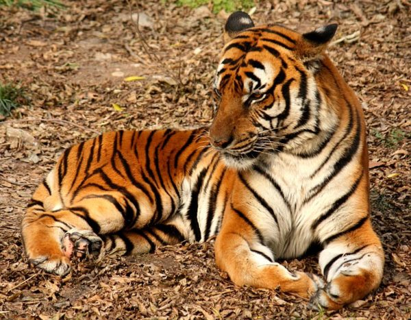 las-mejores-fotos-de-tigres-sur-china