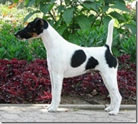 Fox Terrier Pelo Liso | Auto Design Tech