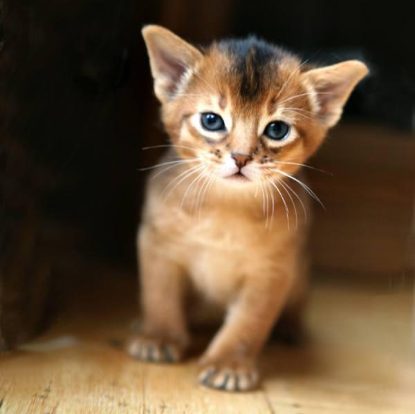 gatos-de-raza-abisinio