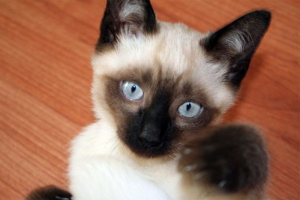 Gatos de Raza Siamés - AnimalesMascotas
