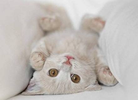 razas de gatos 1