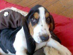 Basset Hound o Hush Puppies, raza de perro