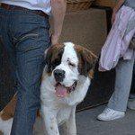 fotos-perro-san-bernardo-12
