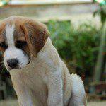 fotos-perro-san-bernardo-13