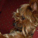 yorkshire-terrier-10