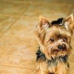 yorkshire-terrier-13