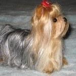 yorkshire-terrier-14