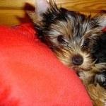yorkshire-terrier-5