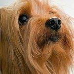 yorkshire-terrier-8