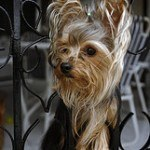 yorkshire-terrier11