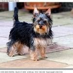 yorkshire-terrier3
