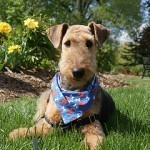 airedale-terrier-10