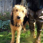 airedale-terrier-4