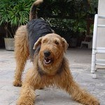 airedale-terrier-6