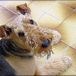 airedale-terrier-7