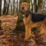 airedale-terrier-8