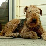airedale-terrier-9