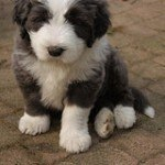 bearded-collie-1
