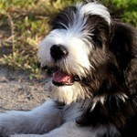 bearded-collie-10