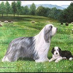 bearded-collie-3