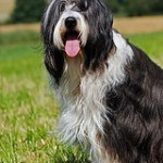 bearded-collie-4