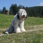 bearded-collie-5