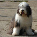 bearded-collie-6