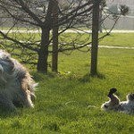 bearded-collie-7