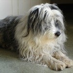 bearded-collie-9