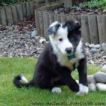 border-collie-10