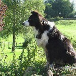 border-collie-6