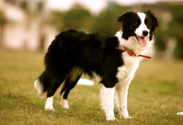 border-collie-816-x-558