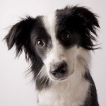 border-collie-9