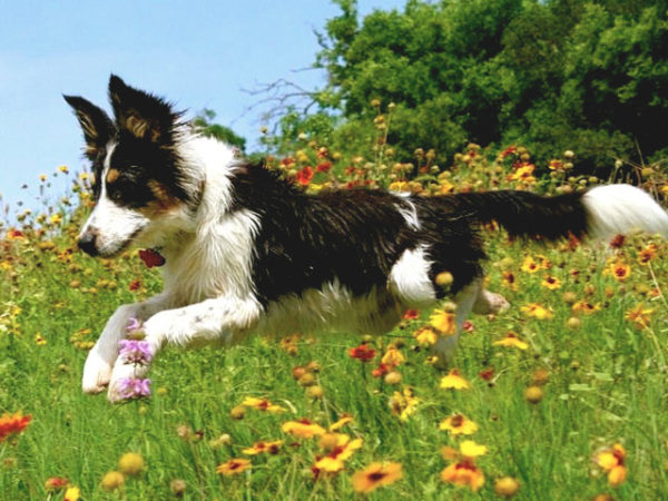 border-collie-campo
