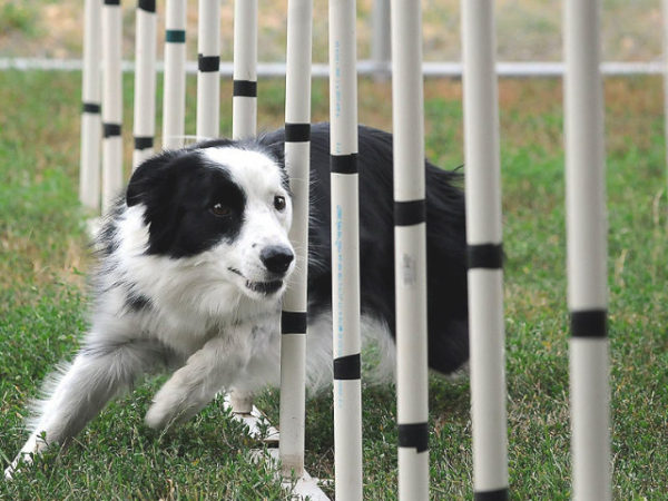border-collie-competición