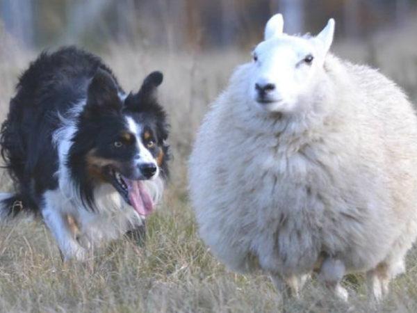 border-collie-oveja