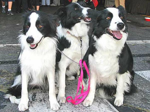 border-collie-perros