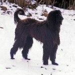perro-afgano-1