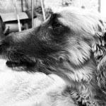 perro-afgano-4